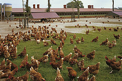 Kippen met vrije uitloop voor de stal