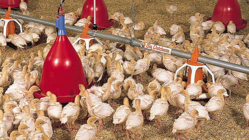 Vleeskuikenhouderij: Voerpan Multi Pan en ronde drenkplaats Jumbo B