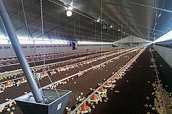 Een kijkje in de vleeskuikenstal