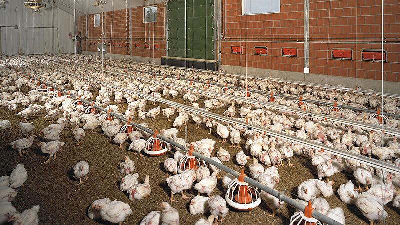 Vleeskippenhouderij – kippenstal