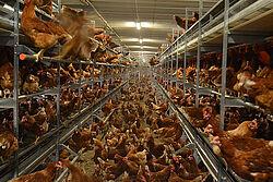 Kippen op de grond en in de etages van de volière.