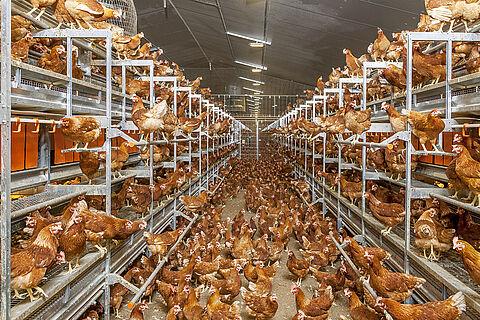 NATURA Step aviary system (barn, free-range and organic egg production)