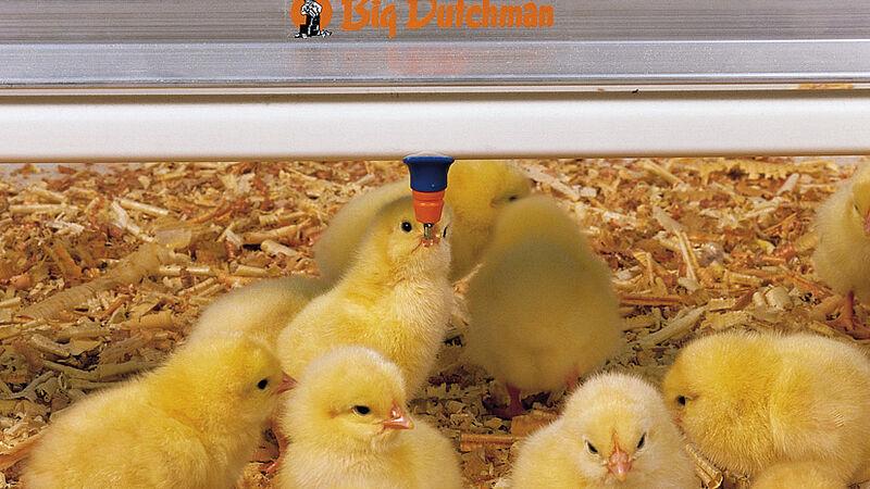 Vleeskippenhouderij: kuikens aan de Big Dutchman drinknippels SaniStar