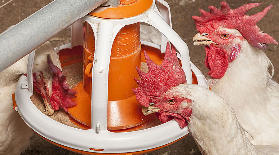 Drie hanen eten uit ronde voerpannen